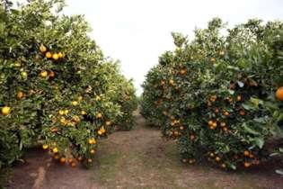 "Las naranjas ""Lola"" son apreciadas por reputados restaurantes."